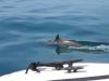 Dolfijnen schieten voor de boot langs