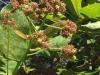 Carmen wijst ons op een Cashew noten boom