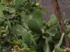 Het fruit van de cactus is het locale fruit