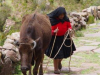 Meer dan 100 meter trap moet deze koe klimmen, respect hoor