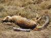 Jonge, dode vos, massaal aangevreten door maden
