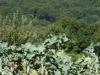 Zouden de bladeren van deze stronken dan gebruikt worden voor de overheerelijke galicasoep