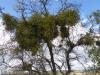 Mistletoe in de bomen