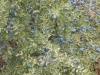 Blauwe bessen, niet om te eten maar om likeur van te brouwen