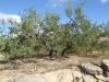 Schitterende olijfbomen