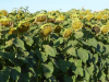 De peregrino's laten hun fantasie los op de zonnenbloemen