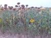 Zonnebloemen staan als geknakte soldaten in het veld