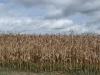 Verdorde mais onder een dreigende hemel