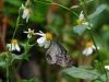 Prachtige vlinders in de vlindertuin, maar moeilijk te fotograferen
