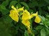 Gele lis