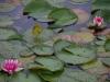 Bloeiende waterlelies vrolijken ons op